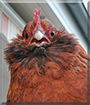 Nugget the Bantam Hen
