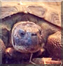 Tank the Russian Tortoise