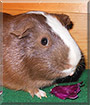 Darwynn the Guinea Pig