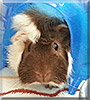 Henry the Abyssinian Guinea Pig