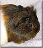 Lilly the Longhair Guinea Pig