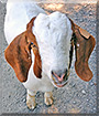 Chance the Boer Goat