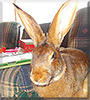 Charlie the Belgian Hare