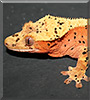 3 Foot the Crested Gecko