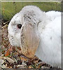 Skittles the Lop Rabbit