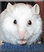 Creampuff the Angora Mouse