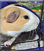 Giovanni the Guinea Pig