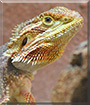 Smaug the Bearded Dragon