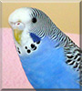 Sammy the Budgerigar