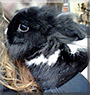 Leon the Lionhead Rabbit