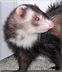 Piper the Sable ferret