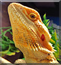 Apalla the Bearded Dragon
