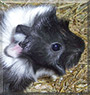 Freja the Guinea Pig