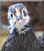 Dweezil the Australorp Chicken