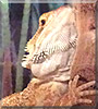 Ozzie the Bearded Dragon