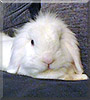 Bentley the Lionhead, Lop Rabbit