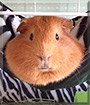 George the Guinea Pig