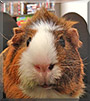 Bubby the Guinea Pig