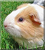 Bill the Guinea Pig