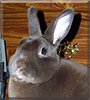 Rum Boogie the Mini Rex Rabbit