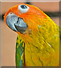 Yellow the Sun Conure