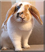 Fleurtje the Lop Rabbit