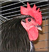 Caspian the Australorp Large Fowl Chicken