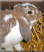 Schnuffi the Lop Rabbit