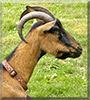 Chloe the Oberhasli Goat