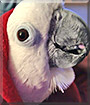 Chula the Umbrella Cockatoo