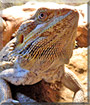 Zhane the Bearded Dragon