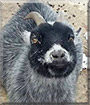 Peggy Sue the Pygmy Goat