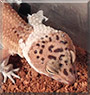 Gretel the Leopard Gecko