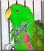 Yoshi the Solomon Island Eclectus Parrot
