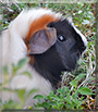 Fudgey Wudge the Abyssinian guinea pig