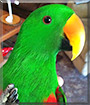 Chico the Red Sided Eclectus Parrot