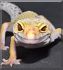 Enigma the Leopard Gecko