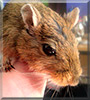 Eddie the Mongolian Gerbil