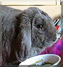 Elvis the Mini lop rabbit