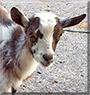 Dexter the Nigerian Dwarf Goat