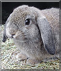 Antonio the Lop Rabbit