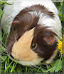 Dolly the Crossbred Guinea Pig