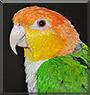 Sunny the Caique Parrot