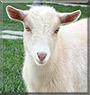 Dudley the Nigerian Dwarf Goat