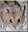 Rodney McKay the Dwarf Hamster