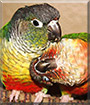 Ace and Skeet the Green Cheeked Conures