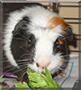 Joe the Guinea Pig