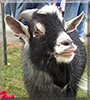 Pepper the Pygmy Goat
