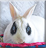 Bandit the Netherland Dwarf, Hotot Rabbit