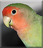 Mangoes the Lovebird